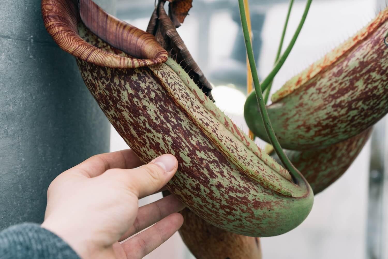 なんとなく見たことのある食虫植物