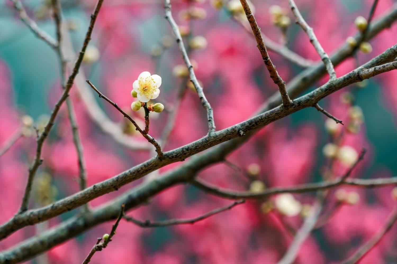 美しいコントラストの梅