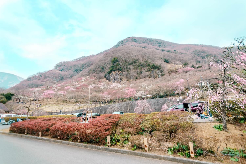 景色一面が梅の花