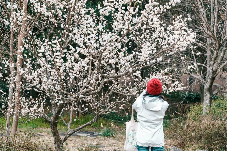 梅の花を撮影している人