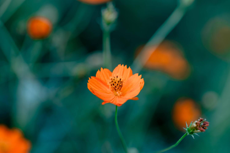 大観覧車の下で咲くコスモス