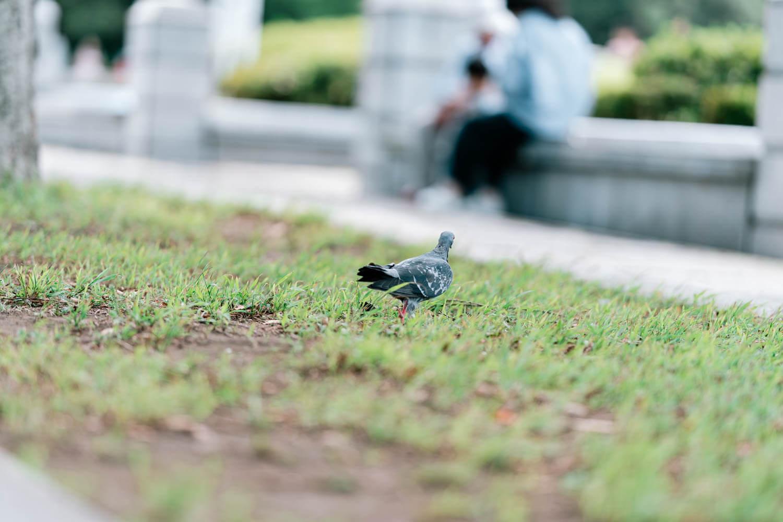 スナップで撮影した鳩