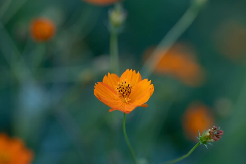 SIMGA 135mm F1.8で撮った花